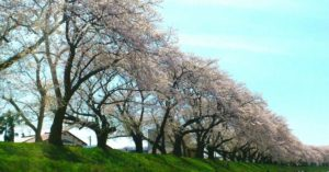 足羽川の桜並木(福井市)