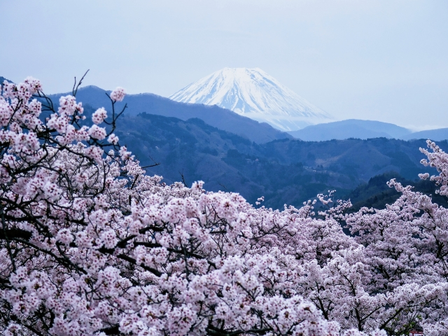 大法師公園の桜(富士川町)と富士山