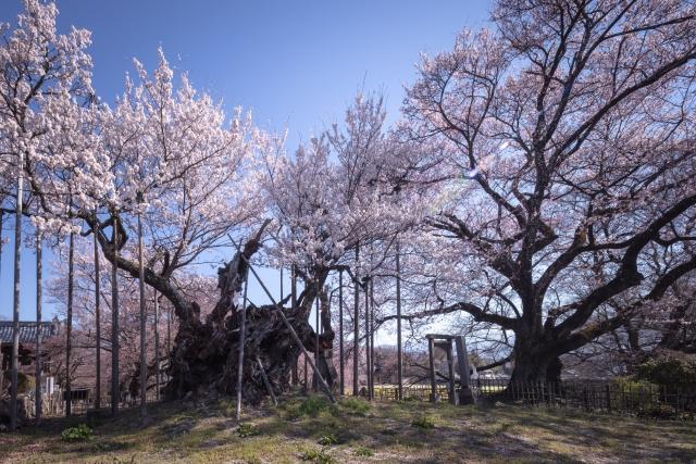 日本五大桜「山高神代桜」(北杜市)
