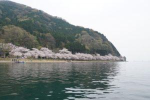 海津大崎の湖畔の桜
