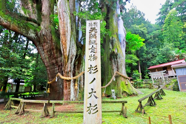 杉の大スギ(長岡郡)