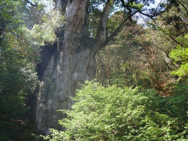 世界遺産「屋久島」の縄文杉