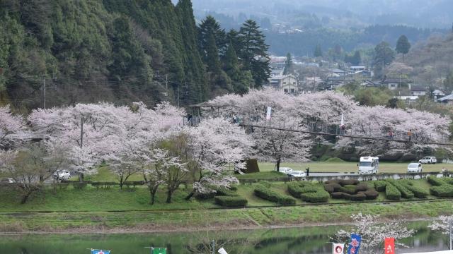 市房ダム湖畔の桜