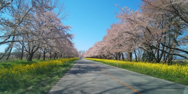桜並木と菜の花ロード